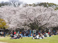 Japanese Enjoying Cherry Blossoms Festival In Park Royalty Free Stock Images - 91239839
