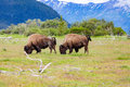 Two Bison In Alaska Royalty Free Stock Photography - 91246817