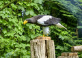 Steller`s Sea Eagle In Walsrode Bird Park, Germany. Large Bird Of Prey. Horizontal Stock Image - 91249731