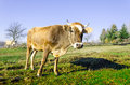 Cows On Pasture In The Autumn, Blue Mountains And Old Fences In Royalty Free Stock Photography - 91261997
