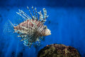 Lion Fish And Rock Royalty Free Stock Photos - 91264088