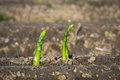 Asparagus Breaks Through Soil Stock Photo - 91265220