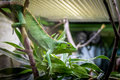 Green Lizard On A Cage - Berthold`s Bush Anole Polychrus Gutturosus Stock Photography - 91266052