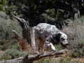 English Setter Hunting Royalty Free Stock Photography - 91272697