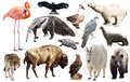 Set Of Fauna Of North American Animals. Stock Image - 91297511