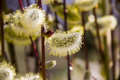 Willow Catkins Royalty Free Stock Images - 91310559