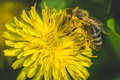 Dandelion. Spring Is Here. Bee Love This Flower. Macro Photography. Royalty Free Stock Images - 91331049