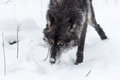 Black Phase Grey Wolf Canis Lupus Nose Down Through Snow Royalty Free Stock Images - 91341079