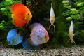 Discus Symphysodon, Multi-colored Cichlids In The Aquarium, The Freshwater Fish Native To The Amazon River Basin Royalty Free Stock Photos - 91350868