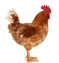 Rooster On White Background, Isolated Object, Live Chicken, One Closeup Farm Animal Royalty Free Stock Photo - 91374685