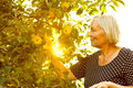 Senior Woman Picking Apples Sun Royalty Free Stock Photography - 91394067