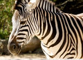 African Zebra Royalty Free Stock Photography - 9141527