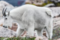 White Big Horn Sheep - Rocky Mountain Goat Stock Image - 91419441