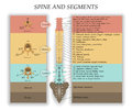 Human Spine In Front, Diagram With The Name And Description Of All Sections Of The Vertebrae And Segments, Vector Illustration. Royalty Free Stock Image - 91421416