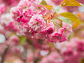 Pink Blossom Royalty Free Stock Photo - 91437595