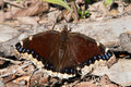 Mourning Cloak Butterfly Stock Photography - 91446382
