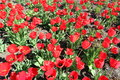 Tulip Field Red Flowers Stock Images - 91464054