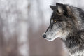 Black Phase Grey Wolf Canis Lupus Profile Copy Space Stock Photography - 91475612