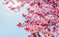 Spring Tree With Pink Flowers Almond Blossom On A Branch On Green Background, On Blue Sky With Daily Light Royalty Free Stock Photography - 91476887