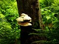 Bracket Fungus Royalty Free Stock Photography - 9159047