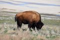 American Bison Photo Stock Photography - 91509432