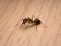 Carpenter Ant Camponotus Sp. Cleaning Body Stock Photography - 91521622