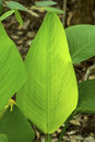 Leaves Of Alligator Flag In The Florida Everglades. Royalty Free Stock Photo - 91522685