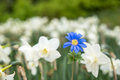 Bright White Flowers With One Blue Being Different, Standing Out Stock Photo - 91538190
