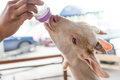 Small Billy Goat Being Feed Milk. Royalty Free Stock Photography - 91551547