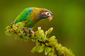 Brown-hooded Parrot, Pionopsitta Haematotis, Portrait Light Green Parrot With Brown Head. Detail Close-up Portrait Bird.  Bird Fro Stock Images - 91591774