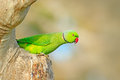 Rose-ringed Parakeet, Psittacula Krameri, Beautiful Parrot In The Nature Green Forest Habitat, Sri Lanka, Asia. Parrot, Wildlife S Stock Photo - 91592170