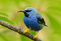 Blue Songbird In The Nature Habitat. Beautiful Blue Exotic Tropic Blue Bird With Yellow Leg, Nicaragua. Shining Honeycreeper, Cyan Royalty Free Stock Photos - 91592268