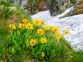 Group Flowers Of The Arnica Montana In The Tatra Mountains Royalty Free Stock Image - 91593366
