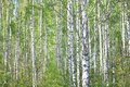 Beautiful Landscape With Young Juicy Green Birches With Green Leaves And With Black And White Birch Trunks In Sunlight Stock Photo - 91594940