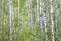 Beautiful Landscape With Young Juicy Green Birches With Green Leaves And With Black And White Birch Trunks In Sunlight Royalty Free Stock Photography - 91596117