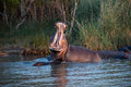 Hippo Yawn In South Africa St Lucia Royalty Free Stock Photo - 91619455