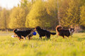 Four Australian Shepherd Dogs Playing On A Meadow Stock Photography - 91632752