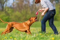 Woman Plays With A Rhodesian Ridgeback On The Meadow Stock Image - 91633841