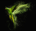 Flying Parrot Alexandrine Parakeet With Colored Powder Clouds. On Black Background Royalty Free Stock Image - 91643466