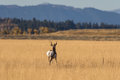 Pronghorn Buck Moving Away Stock Images - 91669184