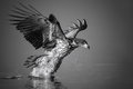 White-tailed Eagle Catches The Fish Stock Image - 91673221