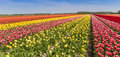 Panorama Of A Colorful Tulips Field In Flevoland Royalty Free Stock Photo - 91725905