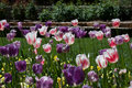 Tulips In Duke Garden Royalty Free Stock Photography - 91726947