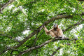 Northern White Cheeked Gibbon Stock Photos - 91738103