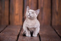 Breed Of European Burmese Cat, Gray, Sitting On A Brown Wooden Background Stock Photo - 91753870