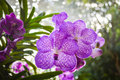 Violet Orchid Stock Photos - 91789373