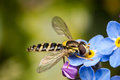 Hoverfly And Forget-me-not Royalty Free Stock Images - 91824959