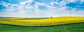 Yellow Rapeseed Field Royalty Free Stock Photography - 91841377