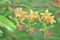 Tamarind Flower Stock Images - 91897594