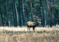 One Red Deer Stag Standing In Field. National Park Hoge Veluwe. Stock Image - 91918241